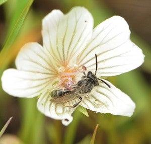 Andrena pulvera male sleeping-2