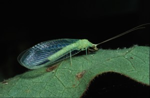 Chrysopa nigricornis-adult