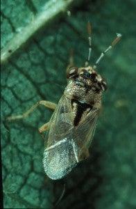 Geocoris pallens-adult